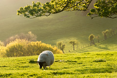 On a warm spring evening (martin.ellis) Tags: england sunshine nikon warm sheep unitedkingdom northumberland lambs d800 rothbury martinellis thropton whitefaced coquetdale rivercoquet hepple cheviotsheep hepplewhitefield martinandjohnphotograpycouk