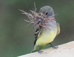 Great-crested Flycatcher, Male, nest building (petertrull) Tags: elements