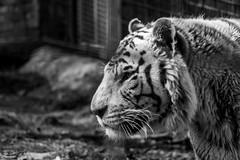 Beauval-12 (leroypierrick) Tags: france nb loiretcher centrevaldeloire zoodebeauval saintaignan tigreblanc