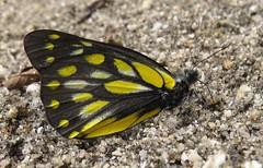 Delia sanaca oreas, Pale Jezabel (Birdernaturalist) Tags: nepal butterfly pieridae richhoyer