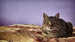 "Lucifer at it again (Bayandur ""Rhayader"" Pogosyan) Tags: animals cat"