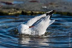 Bath Time (PaulBalfe) Tags: bird caloundra kingsbeach silvergull