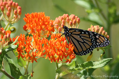 Monarch (Danaus plexippus) (Megan E. McCarty) Tags: butterfly insect lepidoptera monarch monarchbutterfly butterflyweed