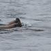 South American sea lion (Otaria flavescens), Magellan strait, Chile