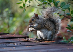 Breakfast on the Boardwalk (Bill McBride Photography) Tags: turkeycreeksanctuary turkeycreek sanctuary boardwalk bokeh easterngraysquirrel gray squirrel grey rodent mammal eating nature wildlife palmbay fl florida canon eos 70d ef100400l may 2016 spring sciuruscarolinensis