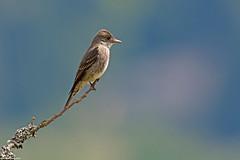olive-sided flycatcher victoria bc (lee barlow) Tags: canada nikon britishcolumbia vancouverisland victoriabc olivesidedflycatcher contopuscooperi d7100 birdsofbritishcolumbia leebarlow birdsofnorthamerica