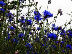 Cornflowers at Kew Gardens, England (novarex1) Tags: uk flowers blue england kew gardens cornflowers