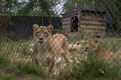 Sebastian, Sheba and Tarzan (whereisjulie?) Tags: rescue tiger lion carolina cougar ocelot serval caracal kinkajou