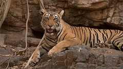 Royal Bengal Tiger (Raymond J Barlow) Tags: travel india animal wildlife tiger adventure phototours raymondbarlow