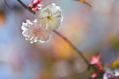 Double Cherry Blossoms (lfeng1014) Tags: ontario macro closeup colours dof bokeh depthoffield sakura cherryblossoms mississauga macrophotography kariyapark lifeng doublecherryblossoms sakurablossom canon5dmarkiii ef70200mmf28lisiiusm
