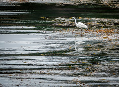 Great Egret - Triple reflection (randyherring) Tags: ocean california park ca nature water point us afternoon unitedstates outdoor wildlife waterbird waterfowl pointlobos greategret carmelbythesea ardeaalba aquaticbird pointlobosstatenaturalreserve