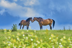 """Don't worry, wonky carrots will still taste the same if they vote to leave..."" (paulinuk99999 - just no time :() Tags: blue sky horses sunlight hedge equine buttercups rubbingnoses paulinuk99999 sal70400g"