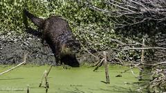 River Otter (Bob Gunderson) Tags: california northerncalifornia wildlife marincounty mammals northbay riverotter lasgallinas lontracanadensis