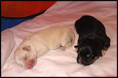 OUR DOGS FIRST TWO BABIES (LitterART) Tags: dog dogs puppy puppies babies bordercollie hunde junge chiens welpen münsterländer bracke dogbabies jungehunde babydogs mischlinge steirischebracke