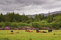 The Good Life (maureen bracewell) Tags: uk trees mountains nature field sunshine animals clouds landscape scotland highlands cows oban stormysky earlysummer 2014 highlandsofscotland maureenbracewell lushpastures