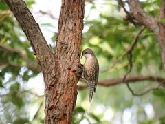 Cormobates leucophaeus 6 (barryaceae) Tags: new lake bird birds wales south sandbar australia aves smiths australianbirds australianbird ausbird ausbirds