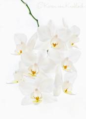 Miniature Orchids (KvonK) Tags: white orchid macro june miniature highkey d800 2016 nikon105mmf28macro kvonk