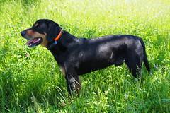 a hűséges társ / a loyal companion (debreczeniemoke) Tags: dog spring meadow kutya tavasz eb frakk rét transylvanianhound copoiardelenesc erdélyikopó transylvanianbloodhound olympusem5