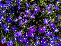Together We Are Strong (RenateEurope) Tags: flowers nature flora 2016 männertreu colorsoftheworld lobeliaerinus awesomeblossoms iphoneography renateeurope ipadair2