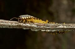DSC_2634 (jacksl1) Tags: macro nikon insects millipede tokina100mmf28atxprod d7000