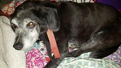 #1600005 - Fritz (pic1) (beforetheyaremissing) Tags: white black male beagle mix