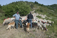 la pause 093 (hervv30140) Tags: france nature landscape sheep paysage mouton languedoc berger brebis cvennes troupeau
