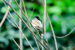 Red-Vented Bulbul (DSF_8461) (Param-Roving-Photog) Tags: city red urban tree bird branches birding punjab pau bulbul ludhiana nikkor70200f28 punjabagricultureuniversity nikond750