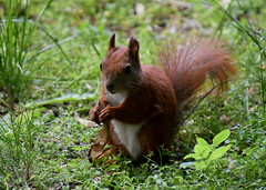 Young squirrel (eowina) Tags: park nature animals squirrel portraitpets