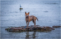 """Come get me"" (RissaJT_23) Tags: dog beach water canon seagull canine cheeky reddog brightonbeach heeler redheeler canon70200mm canon6d australianredheeler canoneos6d"