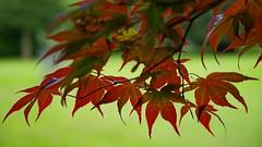 1273-20L1 (Lozarithm) Tags: leaves maples k1 28105 bowood acers derryhill justpentax pentaxzoom hdpdfa28105mmf3556eddcwr