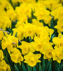 The Daffodil Patch (PopsDigital) Tags: flowers flower color colour macro green floral beauty yellow horizontal wisconsin garden landscape petals spring blossom sweet pastel blossoms daffodil bunch bloom blooms delicate daffodils narcissus blooming billpevlor popsdigital sonyslta77v