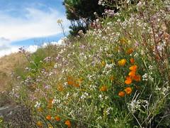 wildflowers on slope_5624 (Michael.C.G) Tags: cliff meadow oakbay sky
