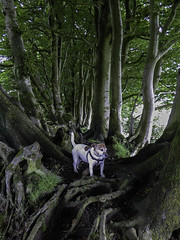 Among The Beeches - 52 Weeks For Dogs, 25/52 (me'nthedogs) Tags: trees jrt somerset terrier snaps jackrussell beech quantocks 2552 52weeksfordogs
