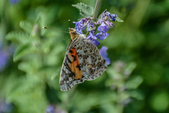 Simplicity (daisyglade) Tags: life flowers summer nature beauty butterfly garden balance delicate paintedlady beautifulworld
