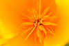 Pollen For Free (gripspix (OFF)) Tags: 20160605 nature natur plant pflanze blüte blossom poppy mohn goldmohn californianpoppy escholziacalifornica
