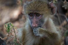 Baby Baboon (btdonnelly83) Tags: africa travel baby cute animals monkey nationalpark furry little small adorable safari baboon botswana chobe babybaboon babyanimal