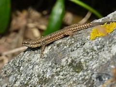 A Lizard warming on a stone (cheryl_bonney) Tags: sun france stone wildlife lizard warming basking