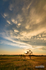Mammatus Above (kevin-palmer) Tags: storm stormy thunderstorm june summer sky weather clouds nikond750 tokina1628mmf28 blue norfolk nebraska greatplains evening dusk sunset colorful gold golden yellow dying lpsupercell green grass three trees sun mammatus