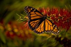 Monarch Beauty 3 (C & R Driver-Burgess) Tags: red orange tree butterfly wings open blossom bottlebrush callistemon myrtaceae
