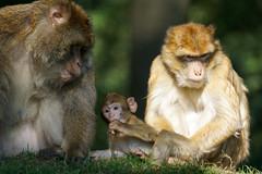 monkey family, pt.3 - Barbary Macaques - Berberaffen (okrakaro) Tags: family portrait baby nature animal germany zoo monkey familie natur september affen rheine barbarymacaques pt3 2015 berberaffen affenbaby