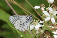 Baumweissling (svensonkra26) Tags: falter insekt schmetterling tagfalter baumweissling weissling