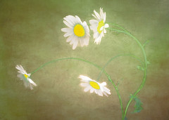 wild things (Hal Halli) Tags: nature daisies flora wallart wildflowers artdigital magicunicornverybest netartii
