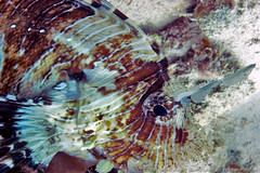 Close up of scorpion fish (3scapePhotos) Tags: africa tanzania animal animals close continent diving fish indian island lionfish ocean safari scorpion scuba tropical underwater zanzibar