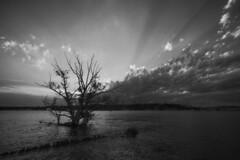 Les derniers rayons (Patrice StG) Tags: blackandwhite bw tree river noiretblanc gimp nb qubec stlawrence stlaurent arbre fleuve stlawrenceriver sigma1224 d700