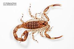 Isometrus maculatus (Wolfgang Dibiasi) Tags: isometrus maculatus scorpion buthidae venomous giftiger spanien spain gifttiere europa wolfgang dibiasi dibiasiweltcom