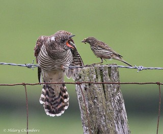 Cuckoo and Meadow Pippit