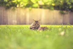 An Attitude with Fur (Elizabeth_211) Tags: pets animals cat 50mm feline bokeh