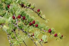 tamarackcones-1420 (h.redpoll) Tags: cones larch maine summer tamarack