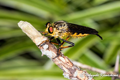 Robber Fly (Silveryway) Tags: macro japan insect fly robber promachus yesonicus yokoshibahikari