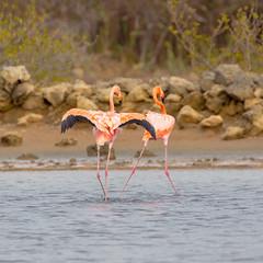 Flamingoes@Williwood (caropho) Tags: jankok curaao birds flamingo wildlife caribbean animal nature canon eos